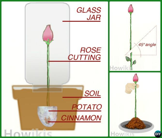 Regrow Rose on Potato Cinimon from Cutting-Garden Tips to Regrow Flowers From Cut Stems