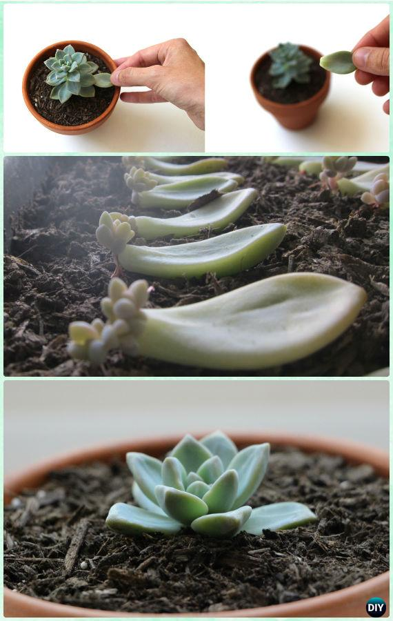 how to propagate succulents instruction diy indoor succulent garden ideas