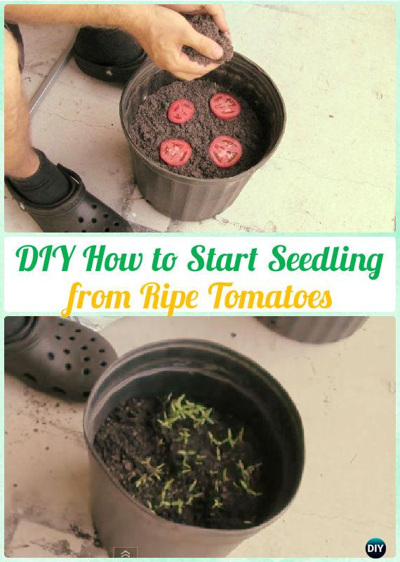 Easy Start Seedling from Ripe Tomatoes Instructions - Gardening Tips to Grow Tomatoes In Containers