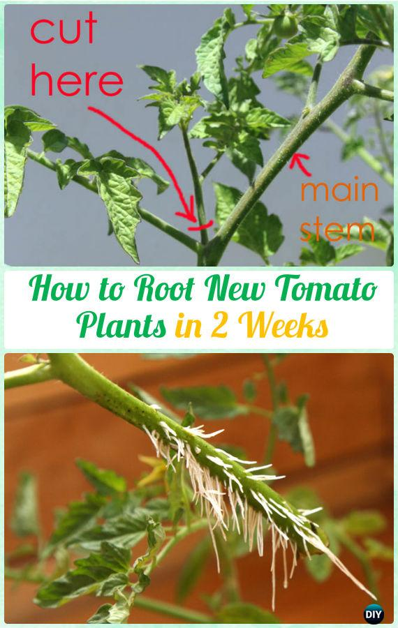 Root New Tomato Plants from Sucker Instructions - Gardening Tips to Grow Tomatoes In Containers