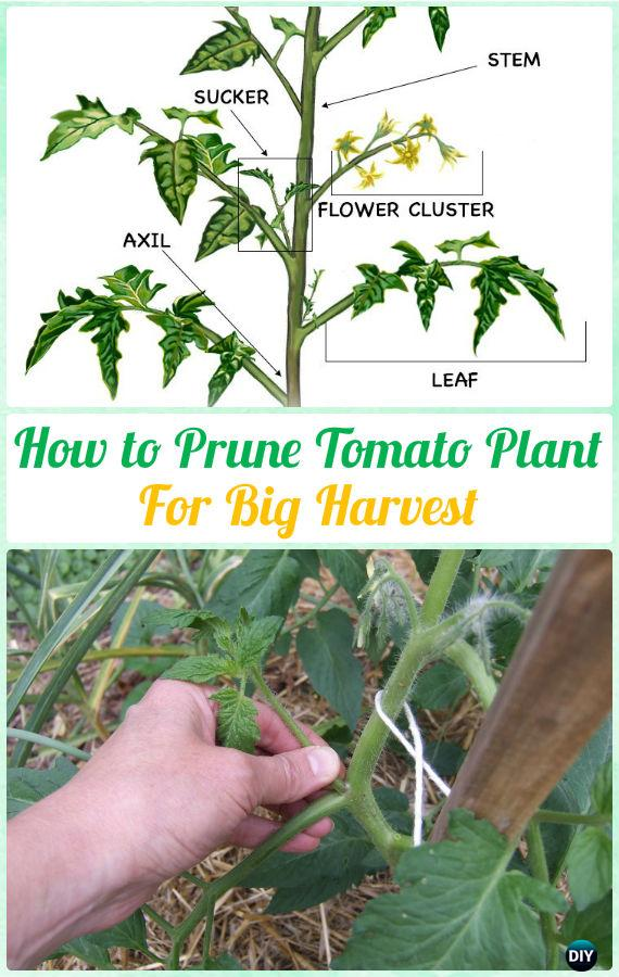 How to Prune Tomato Plants for Harvest Various Instructions - Gardening Tips to Grow Tomatoes In Containers