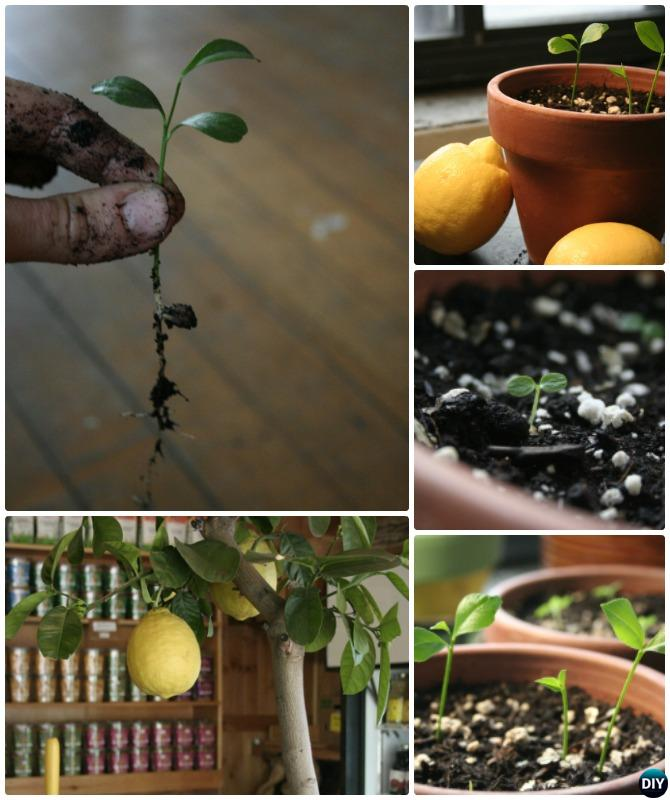 Grow Lemon Tree From Seeds Instructions