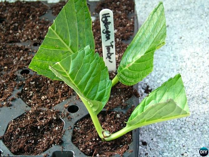 Regrow Hydrangeas From Cutting-Hydrangea Propagation Tips
