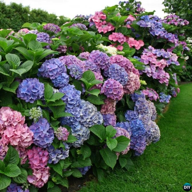 How to Change Hydrangeas Into Pink Blue Tips