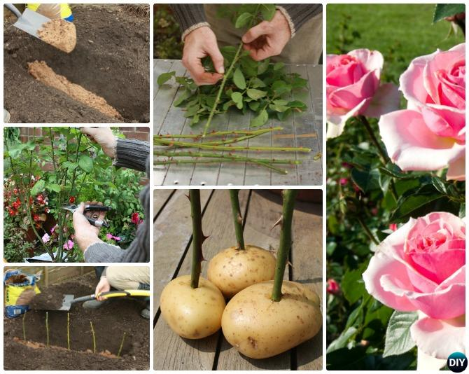 Image result for plant a rose using a potato